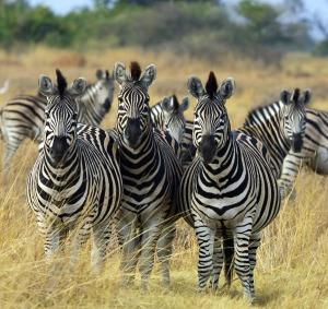 source: https://en.wikipedia.org/wiki/Zebra